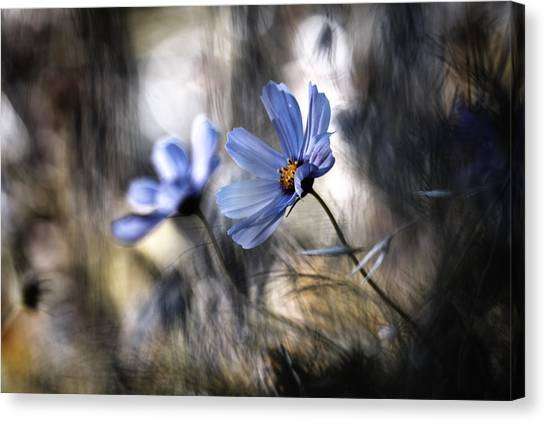Cosmos Flower Canvas Print - The Two Of Us by Fabien Bravin
