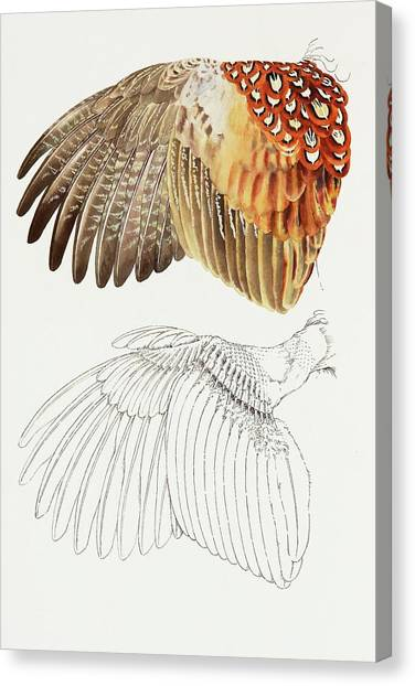 The Upper Side Of The Pheasant Wing Canvas Print