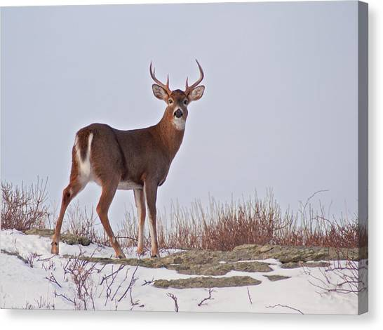 The Watchful Deer Canvas Print