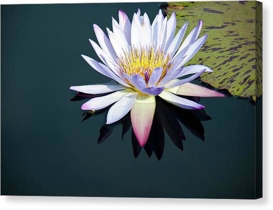 The Water Lily Canvas Print