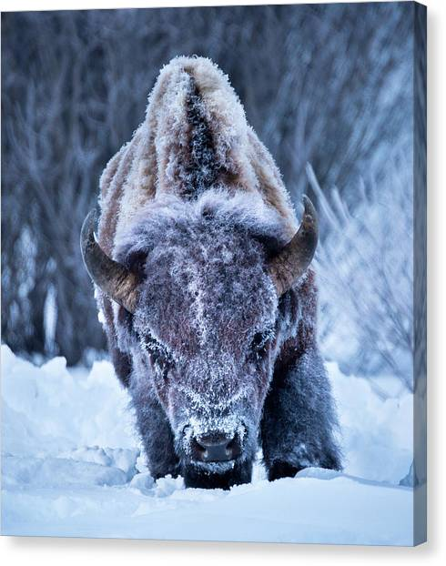 The Weary King // Yellowstone National Park  Canvas Print