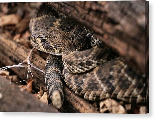 Poisonous Snakes Canvas Print - The Western Diamondback Rattlesnake by JC Findley