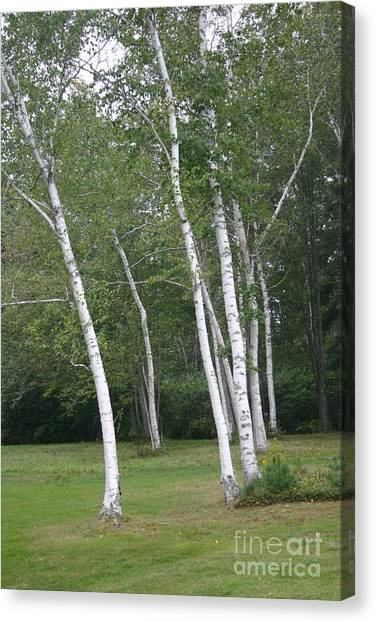 The White Birch Canvas Print by Dennis Curry