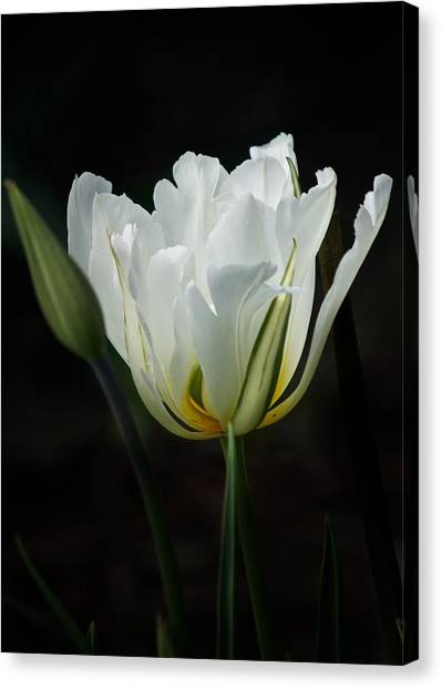 The White Tulip Canvas Print