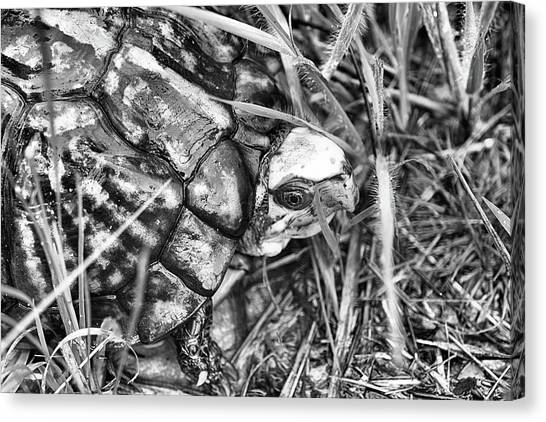 Box Turtles Canvas Print - The Wise Old Turtle Black And White by JC Findley