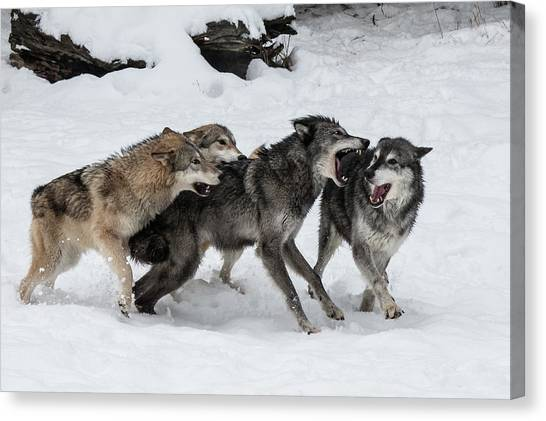 Arctic Wolf Canvas Print - The Wolf Pack by Teresa Wilson