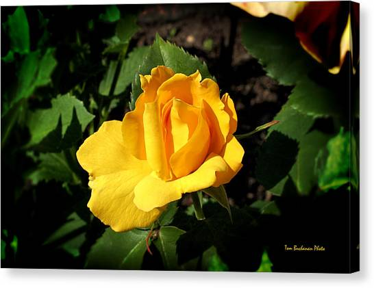 The Yellow Rose Of Garden Canvas Print