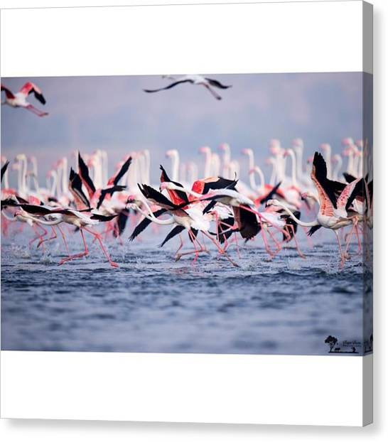 Flamingos Canvas Print - There Will Be Fire ...... A Flock Of by Nayan Hazra