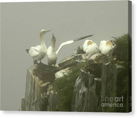 Razorbills Canvas Print - They Went That Away by Teresa A and Preston S Cole Photography