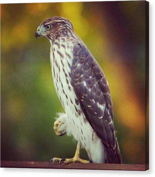 Birds Canvas Print - Coopers Hawk by Heidi Hermes