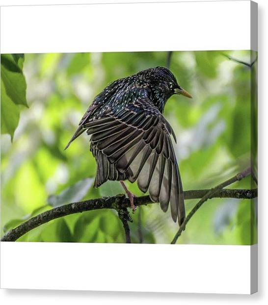 Starlings Canvas Print - This Cute Little Starling Has Just Left by Daniel Precht Photography