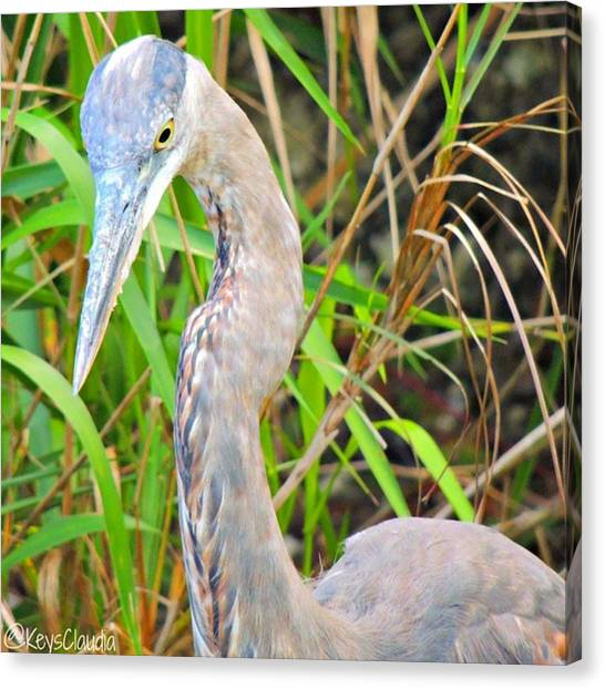 Everglades Canvas Print - This #everglades Heron On The by Claudia Miller
