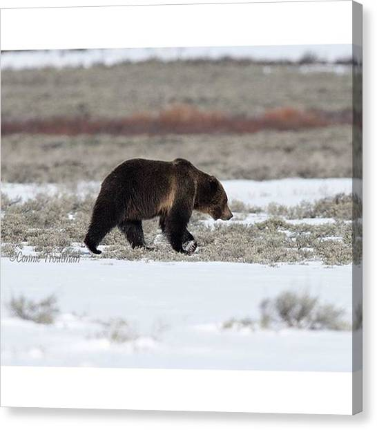 Grizzly Bears Canvas Print - This Grizzly Sure Wintered Well. Saw by Connie Troutman