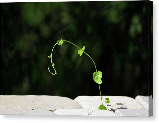 Little Things Canvas Print - This Little Vine - Shining In The Sunlight by Debra Martz