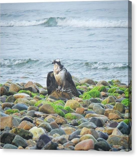 Osprey Canvas Print - Osprey  by Charlie Cliques