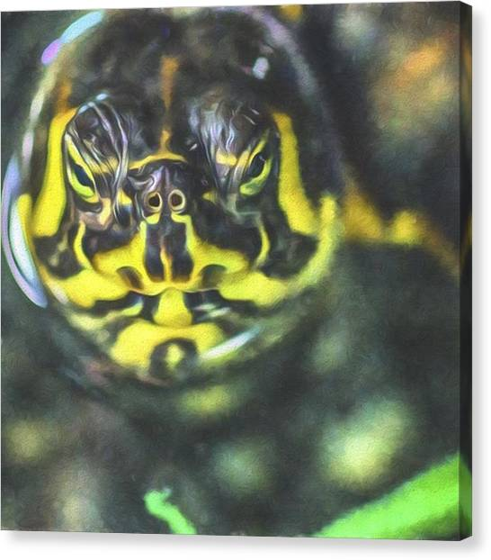 Tortoises Canvas Print - This Tortoise Looks Serious. Hmmm by David Haskett