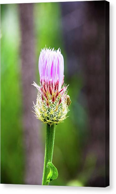 Thistle In The Canyon Canvas Print