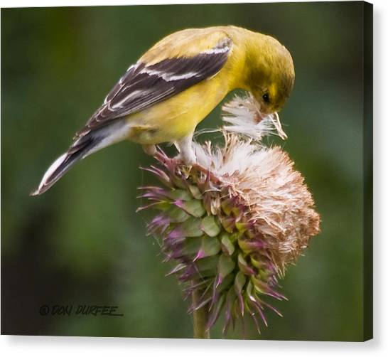 Canvas Print - Thistle Seed Gathering by Don Durfee