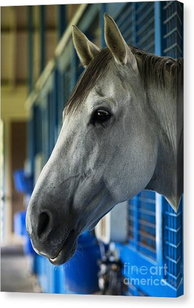 Thoroughbreds Canvas Print - Thoroughbred by John Greim