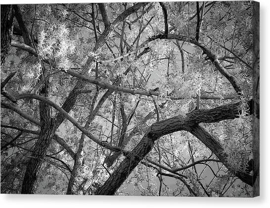 Those Branches -  Canvas Print