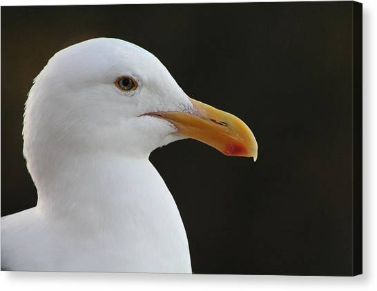 Thoughtful Gull Canvas Print