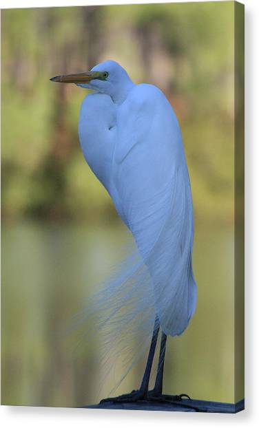 Thoughtful Heron Canvas Print