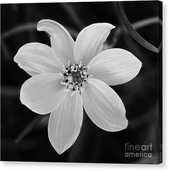 Canvas Print - Threadleaf In Black And White by Megan Cohen