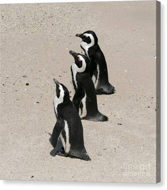 Three African Penguins Canvas Print