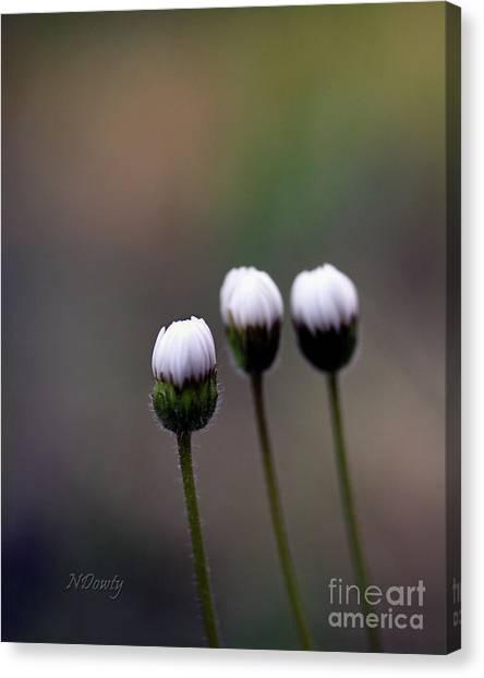 Three Buds Sprawling Daisy Canvas Print