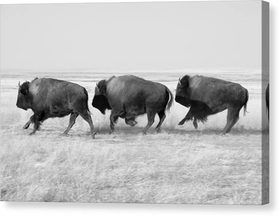 Bison Canvas Print - Three Buffalo In Black And White by Todd Klassy