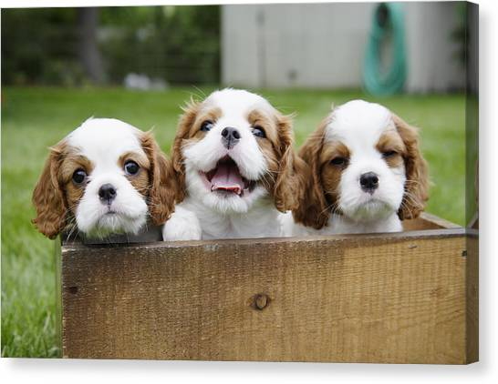 Dogs Canvas Print - Three Cocker Spaniels Peeking by Gillham Studios