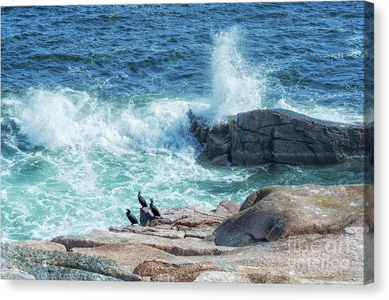Three Cormorants At Monument Cove, Acadia National Park Canvas Print