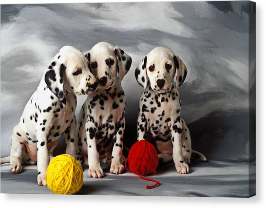 Pets Canvas Print - Three Dalmatian Puppies  by Garry Gay