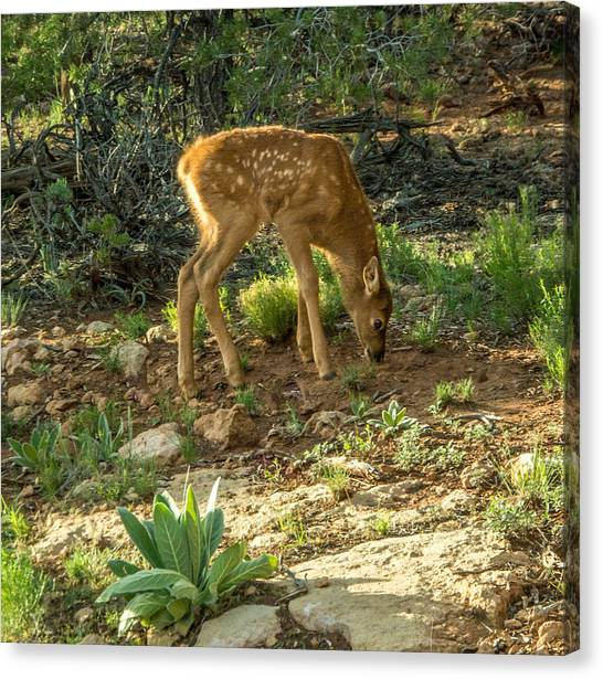 Three Day Old Fawn Canvas Print