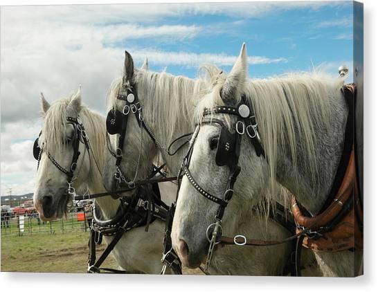 Draft Horses Canvas Print - Three Draft Horses by Jeff Swan