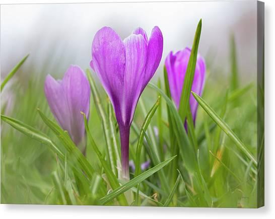 Three Glorious Spring Crocuses Canvas Print