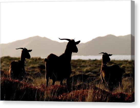 Three Goats Canvas Print