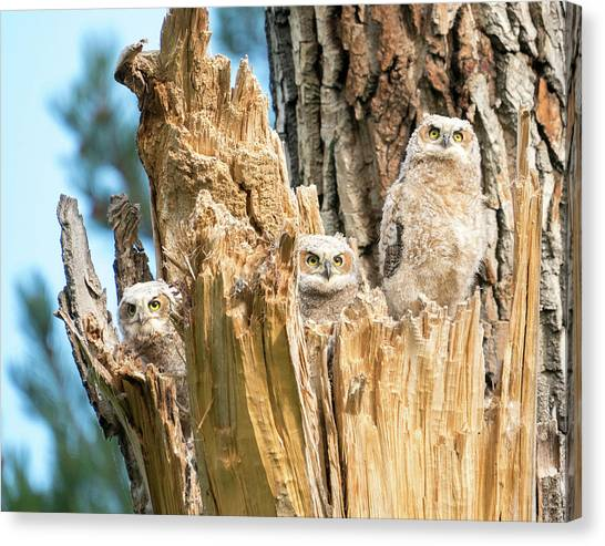 Three Great Horned Owl Babies Canvas Print