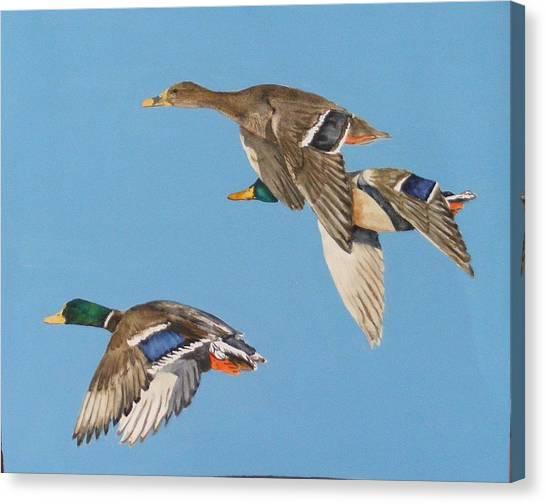 Three Mallards Canvas Print