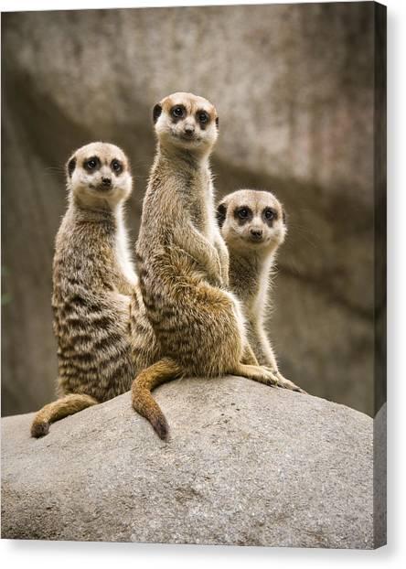 Meerkats Canvas Print - Three Meerkats by Chad Davis