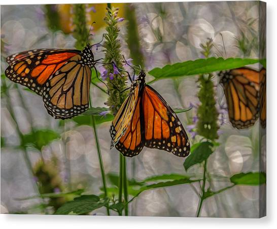 Three Monarch Butterfly Canvas Print