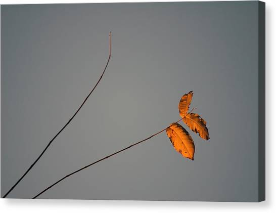 Three Oranges Canvas Print by Ross Powell