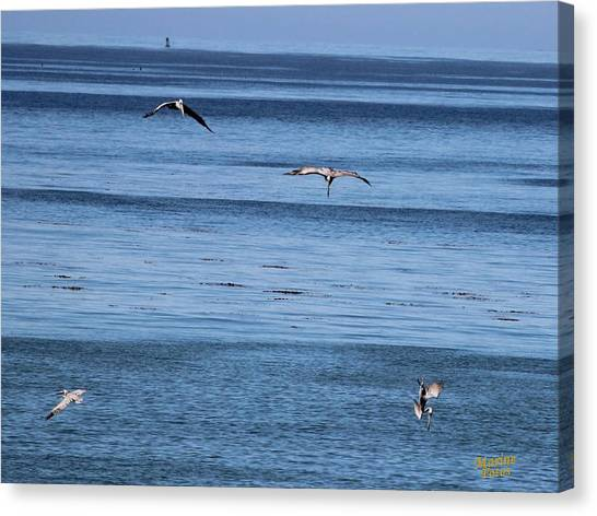 Three Pelicans Diving Canvas Print