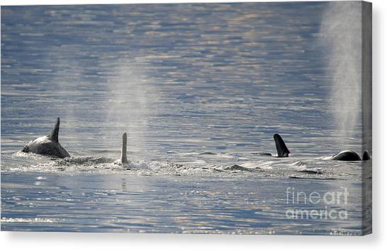 Orcas Canvas Print - Three Surface by Mike Dawson