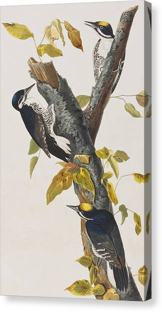 Toes Canvas Print - Three Toed Woodpecker by John James Audubon