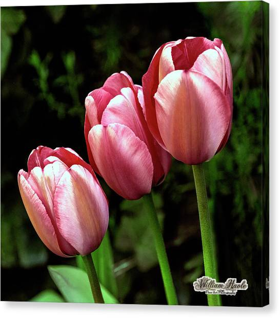 Canvas Print featuring the photograph Three Tulips by William Havle