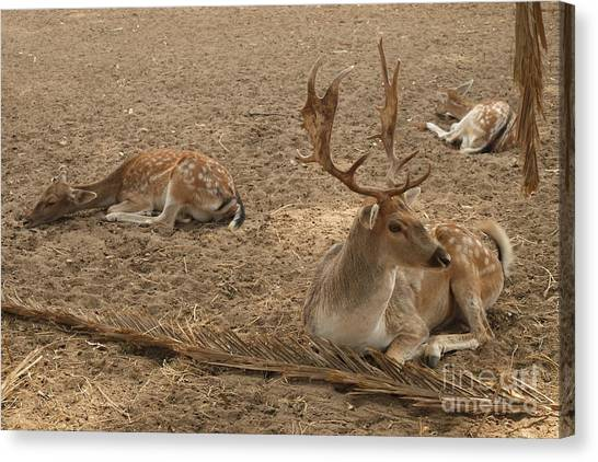 Three Deer Resting Canvas Print