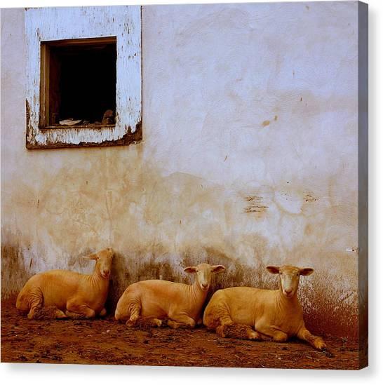 Sheep Canvas Print - Three Wise Sheep by Maggie McLaughlin
