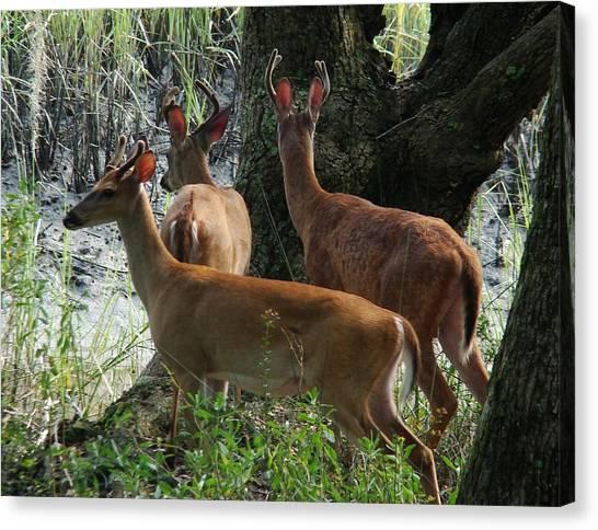 Three Young Bucks Canvas Print