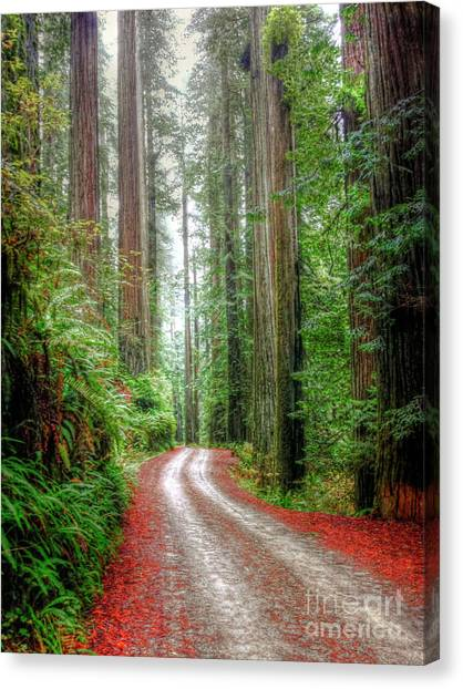 Redwood Forest Canvas Print - Through The Redwood Forest by Juli Scalzi